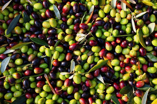 olive rosone