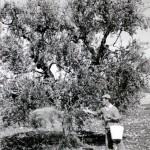 3 antica il rosone olio